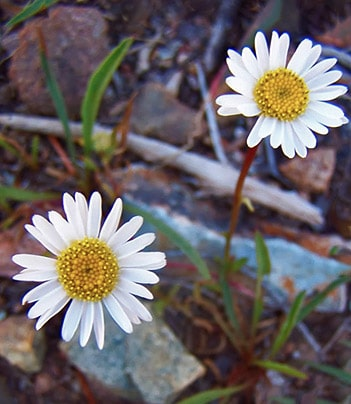 Veva's Erigeron is found only in the Hunter Creek Headwaters.
