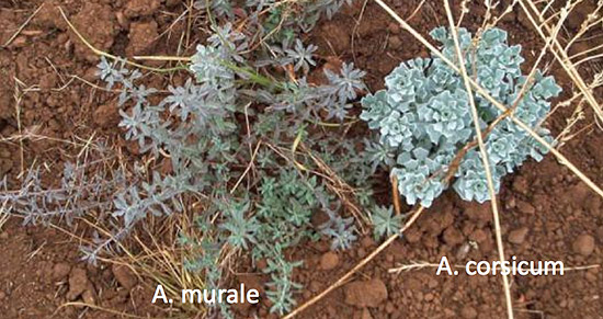 The two invasive alyssums have very different leaves but similar flowers.