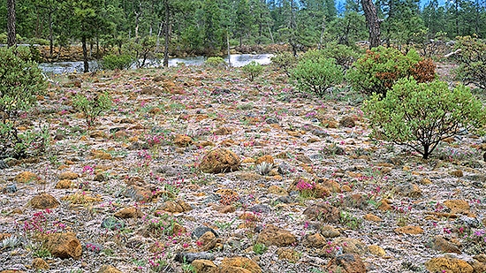 Rare rock cress (Arabis), fritillary and other serpentine adapted plant bloom in a Rough and Ready Creek rock garden.