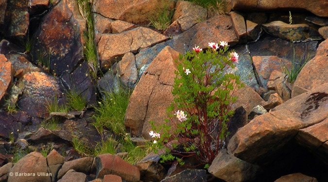 At Rough and Ready Creek, even the rocks bloom, Rough and Ready Creek Botanical Area. Barbara Ullian photo