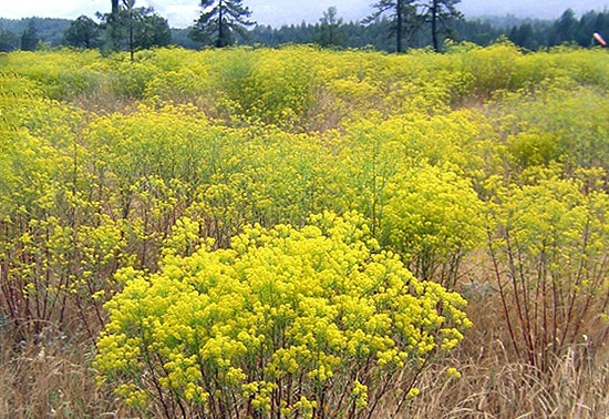 When alyssum populations get large enough they simply take over serpentine soils. Oregon Department of Agriculture photo.