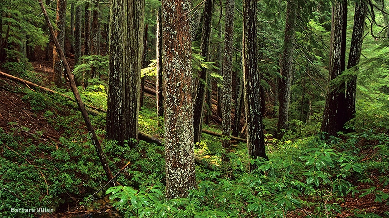Rare forest in the South Kalmiopsis